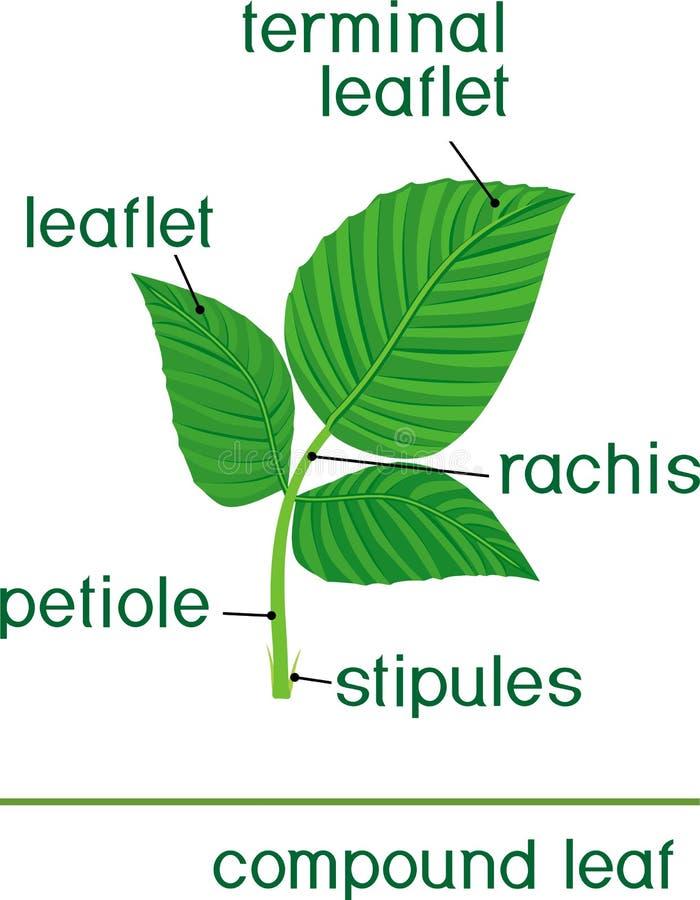 Struktur av det gröna bladet av växten Sammansatt blad av hallonet stock illustrationer