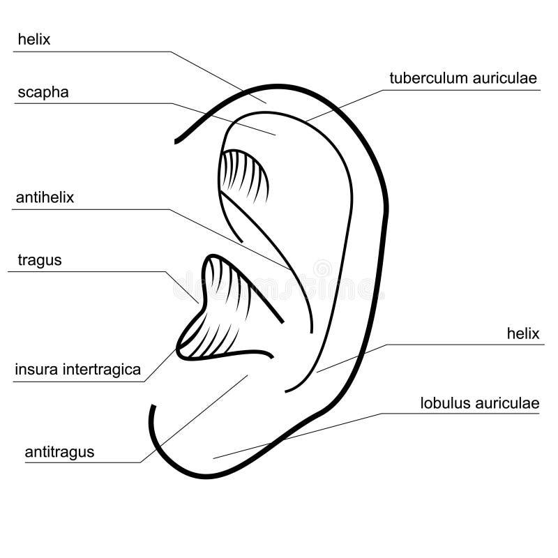Struktur av det mänskliga örat vektor illustrationer