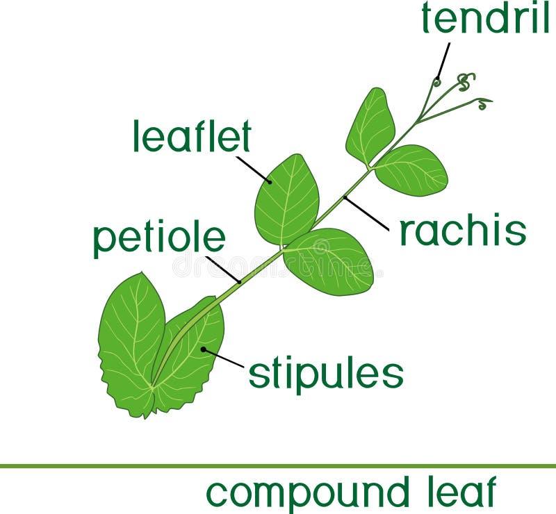 Struktur av det sammansatta växtbladet med titel Grönt blad av ärtan stock illustrationer