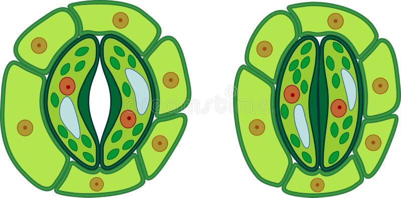 Struktur av det stomatal komplexet med öppen och stängd stoma royaltyfri illustrationer