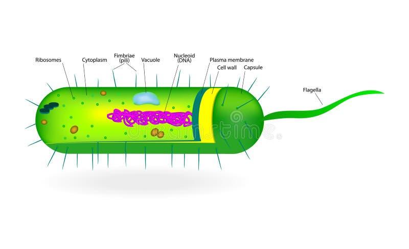 Struktur av en bakterie- cell stock illustrationer