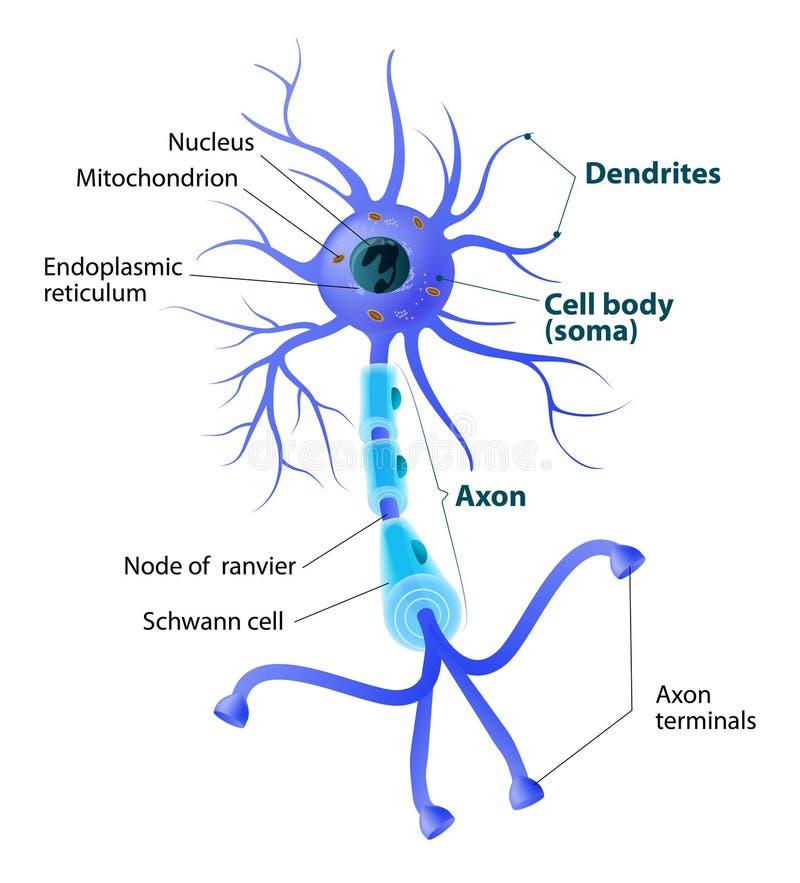 Struktur av en motorisk neuron stock illustrationer