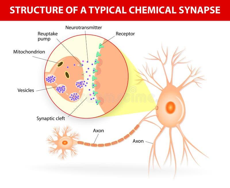 Struktur av en typisk kemisk synapse vektor illustrationer