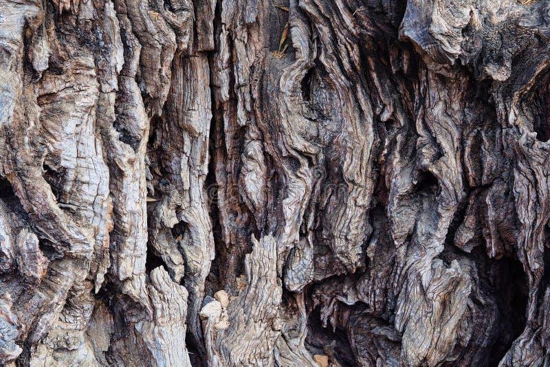 Struktur av olivträdet royaltyfria bilder