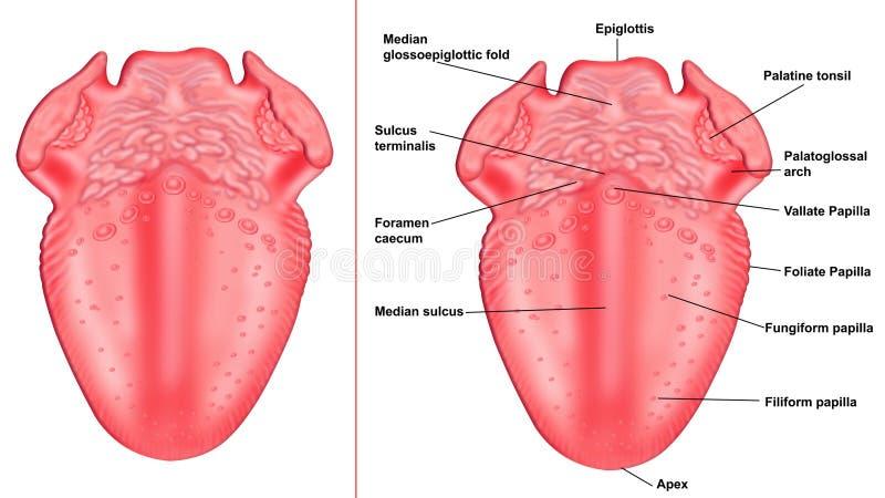 struktur av tungan royaltyfri illustrationer
