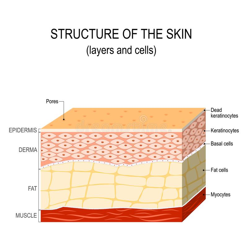 Struktur der menschlichen Haut lizenzfreie abbildung