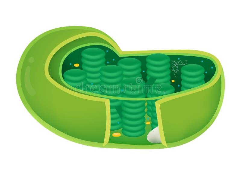 Struktur des Chloroplasts vektor abbildung