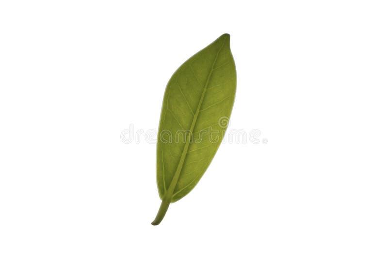 Struktur des grünen Blattes, lokalisiert auf weißem Hintergrund lizenzfreie stockbilder