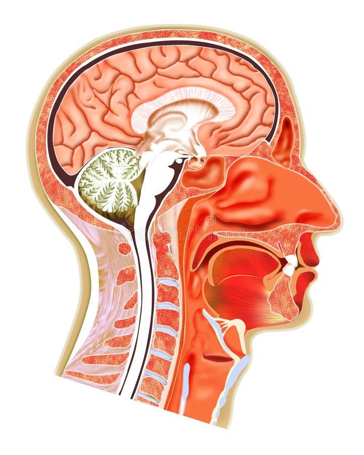 Struktur des menschlichen Kopfes