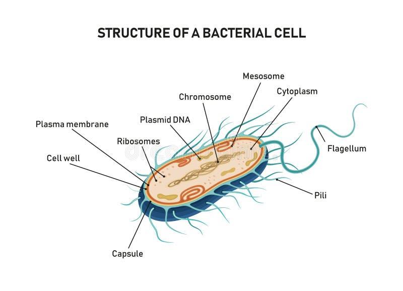 Struktur einer bakteriellen Zelle lizenzfreies stockfoto