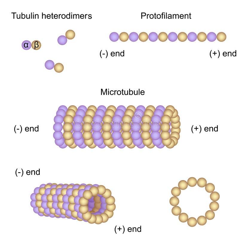 Struktur och enhet av microtubules stock illustrationer
