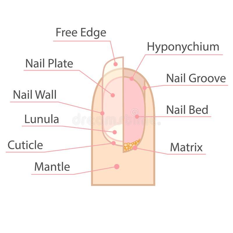 Struktura i anatomia ludzki gwóźdź