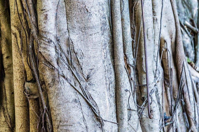 struktura Korzenie przekr?caj? baga?nika ogromny drzewo w tropikalnego lasu deszczowego baga?niku majestatyczny ceiba zdjęcie royalty free