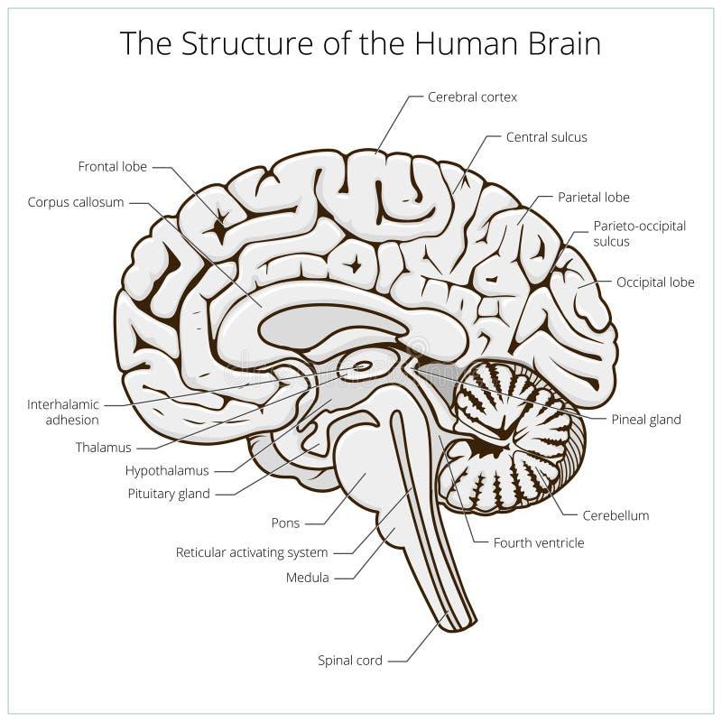 Struktura ludzki mózg sekci schematyczny wektor ilustracji