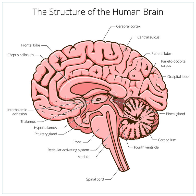 Struktura ludzki mózg sekci schematyczny wektor royalty ilustracja