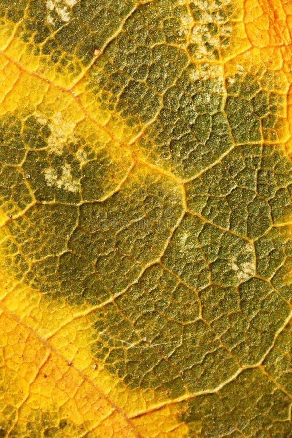 Struktura na jesień liściu obrazy stock