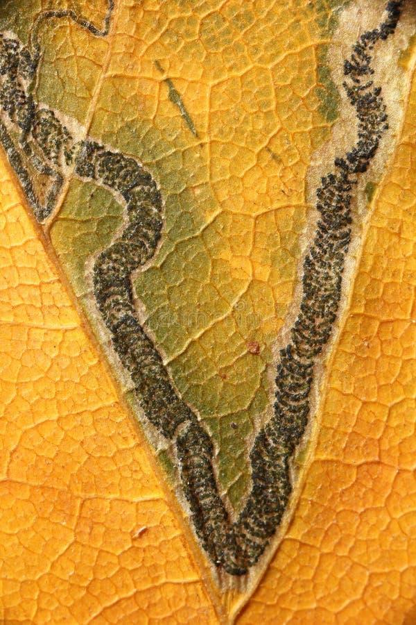 Struktura na jesień liściu zdjęcia stock