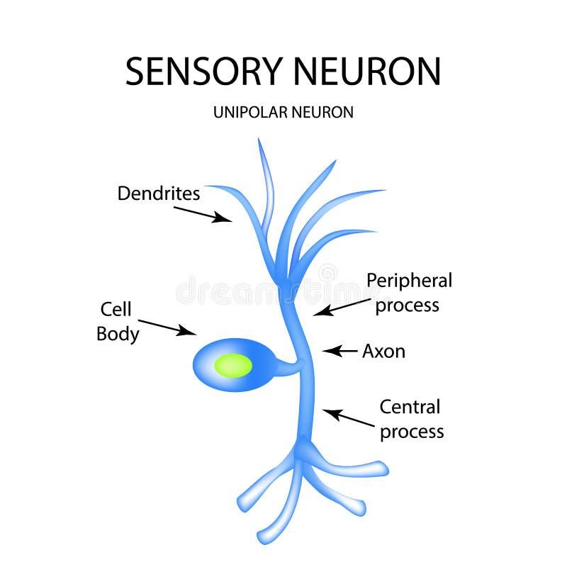 Struktura sensualny neuron Infographics Wektorowa ilustracja na odosobnionym tle ilustracja wektor