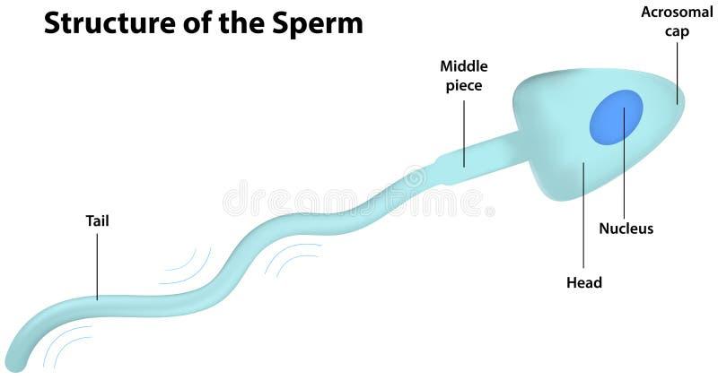 Struktura sperma ilustracja wektor