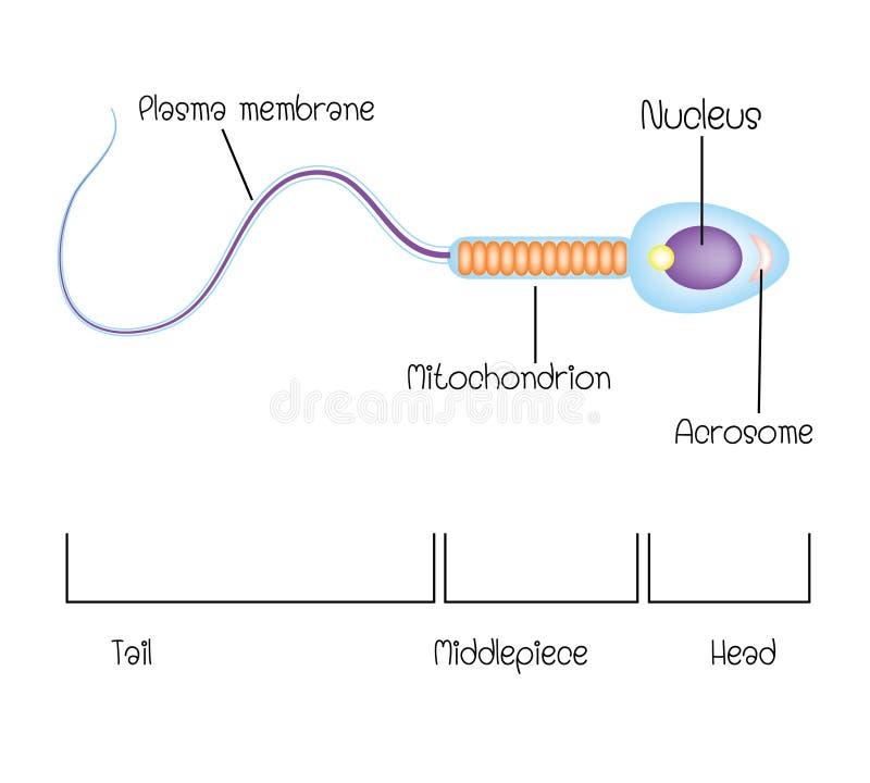 Struktura spermy komórka royalty ilustracja