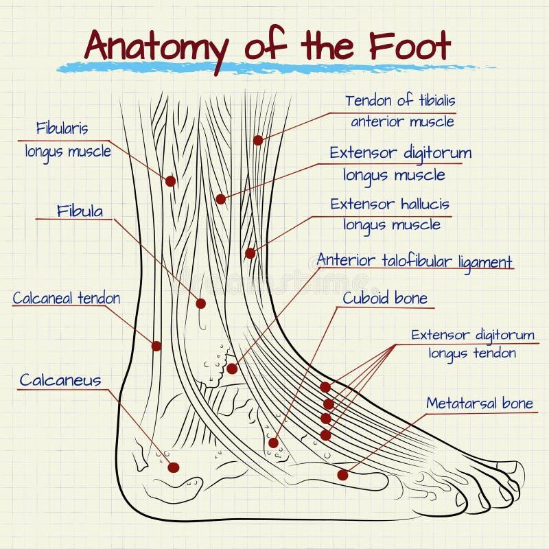 Strukturen av den mänskliga foten stock illustrationer