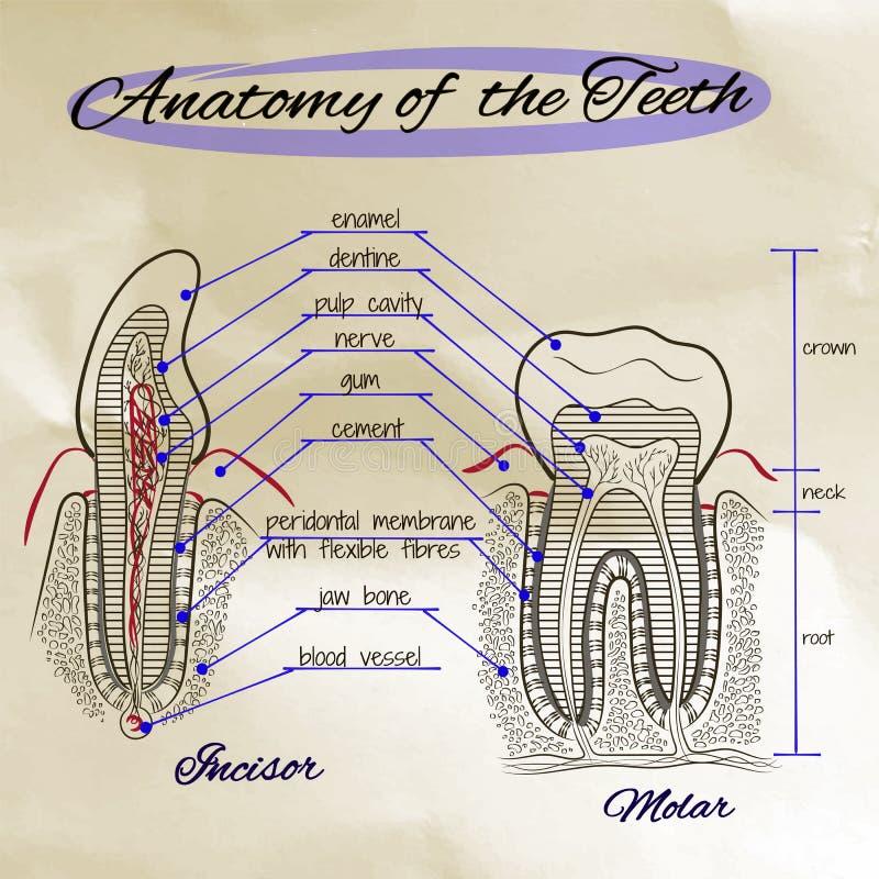 Strukturen av den mänskliga tanden stock illustrationer