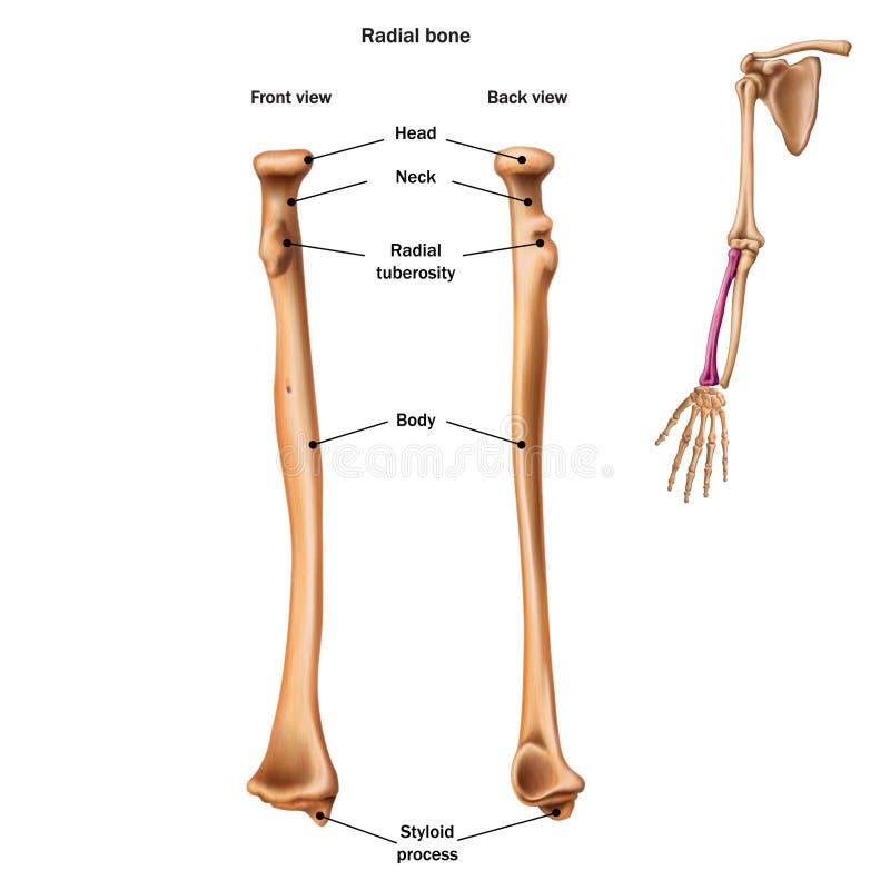Strukturen av det radiella benet med platserna för namn och för beskrivning allra Tillbaka och fr?mre sikt royaltyfri illustrationer