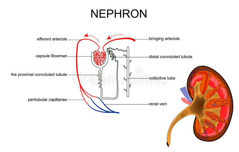Strukturen av njuren och nephron stock illustrationer