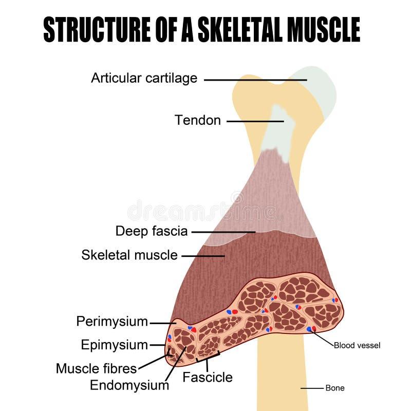 Strukturera av en skeletal muskel royaltyfri illustrationer