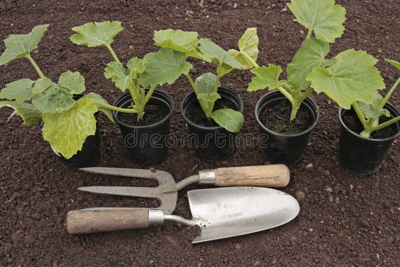 Strumenti di verdure dei semenzali che crescono in POT immagine stock
