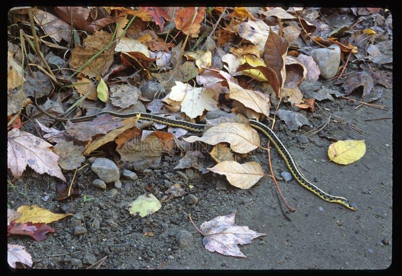 Strumpfband-Schlange am Teich-Rand stockbild