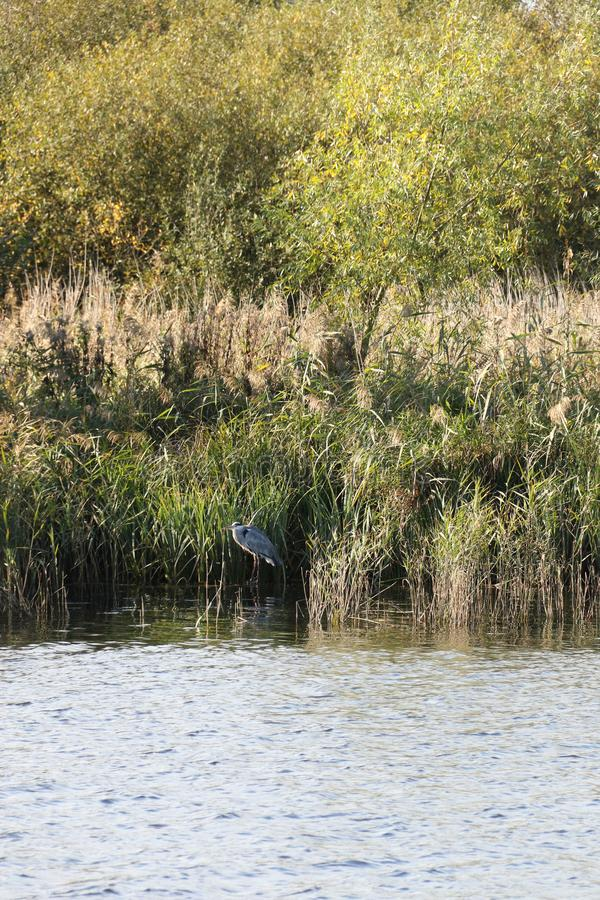 A grey heron in the reeds at Strumpshaw Fen. Strumpshaw Fen is a RSPB bird reserve on the River Yare near Norwich, Norfolk royalty free stock photos