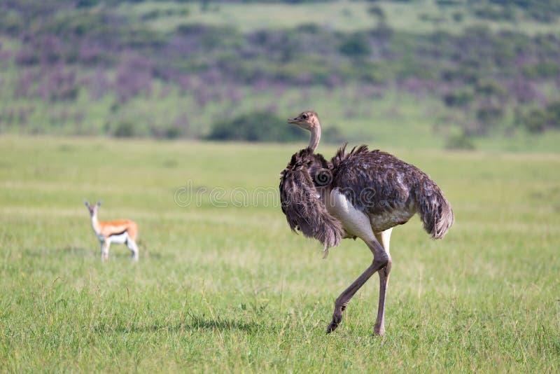 Strusi ptaki pasają na łące w wsi Kenja zdjęcia stock