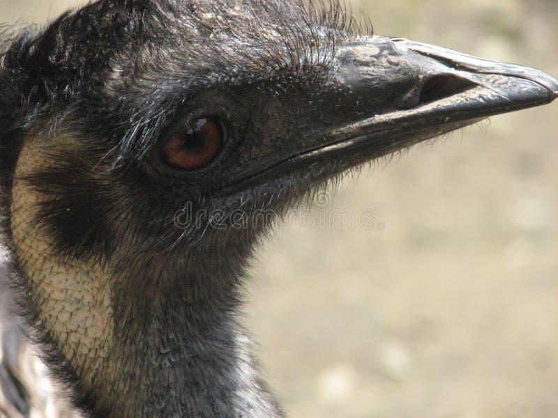 he strusi Struś lub Pospolity Struś, gatunkiem jesteśmy jeden lub dwa wielcy ptaki rodzimi Afryka fotografia stock