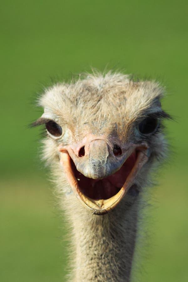 Strusi uśmiech zdjęcie royalty free