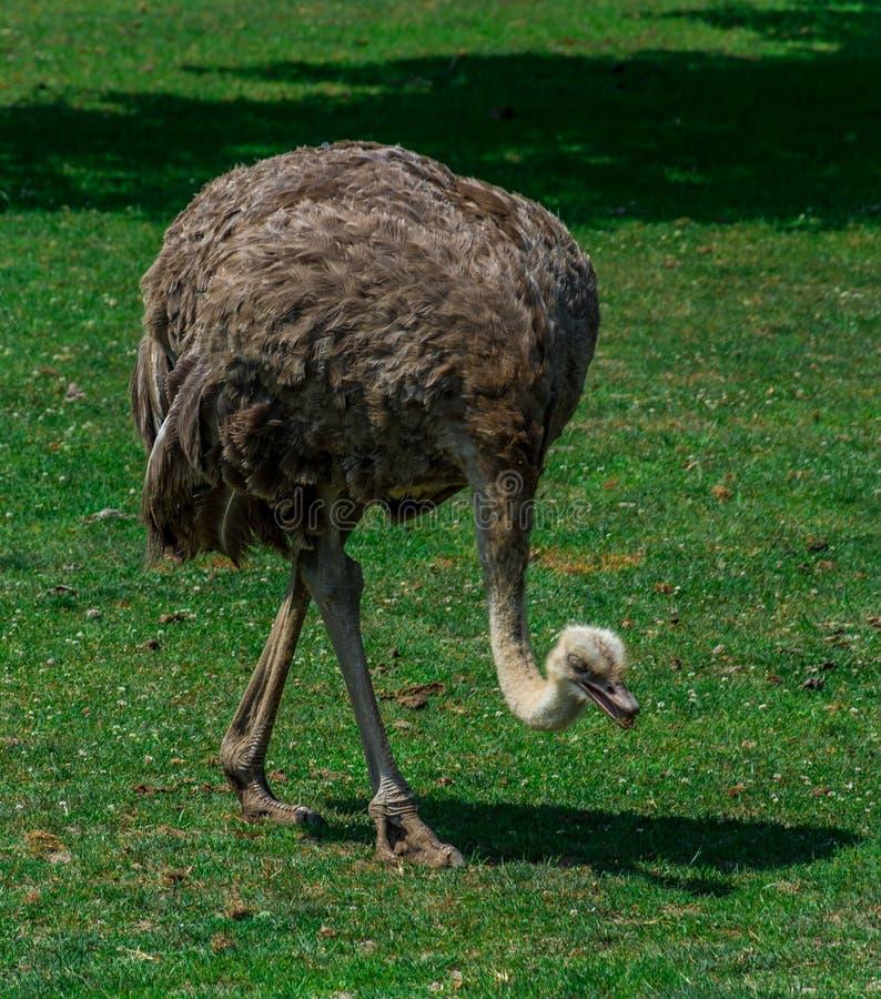 Strusia łasowanie trawa w Savana Zoologiczny ogród fotografia royalty free