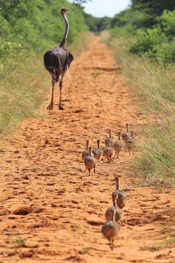 Strusia karmazynka i kurczątka Po mama - Afrykański przyrody tło - zdjęcie stock