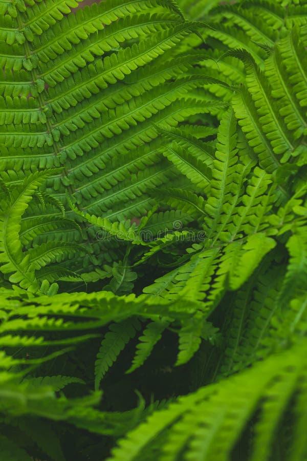 Struthiopteris del Matteuccia Ostrichnik ordinario en primavera El helecho negro verde floreci? imagen de archivo
