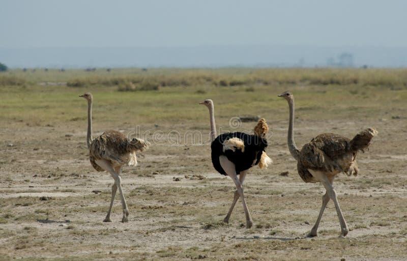 Struts; Struisvogel; Struthiocamelus royaltyfri foto