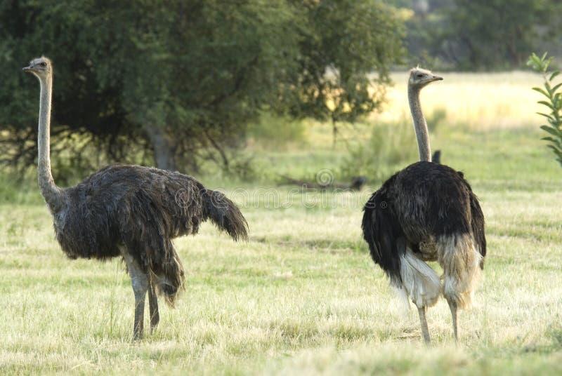 Struts; Struisvogel; Struthiocamelus royaltyfria bilder