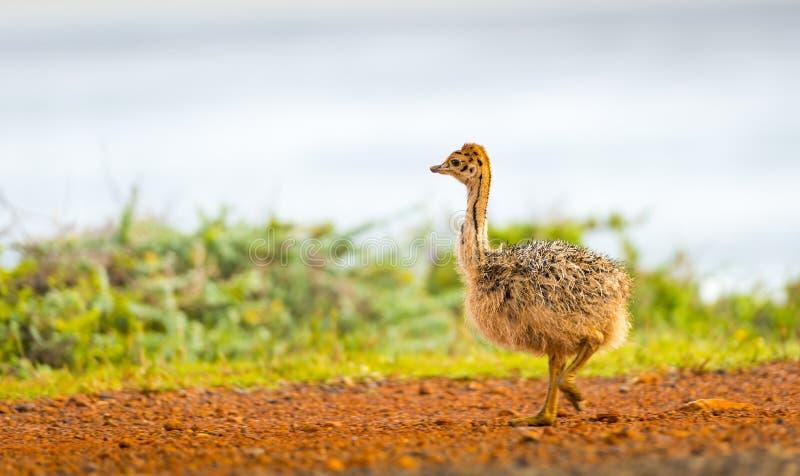 Strutsfågelunge royaltyfria bilder