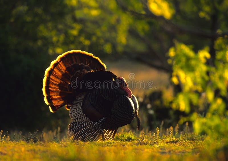 Strutting Wild Backlit Turkije stock afbeeldingen