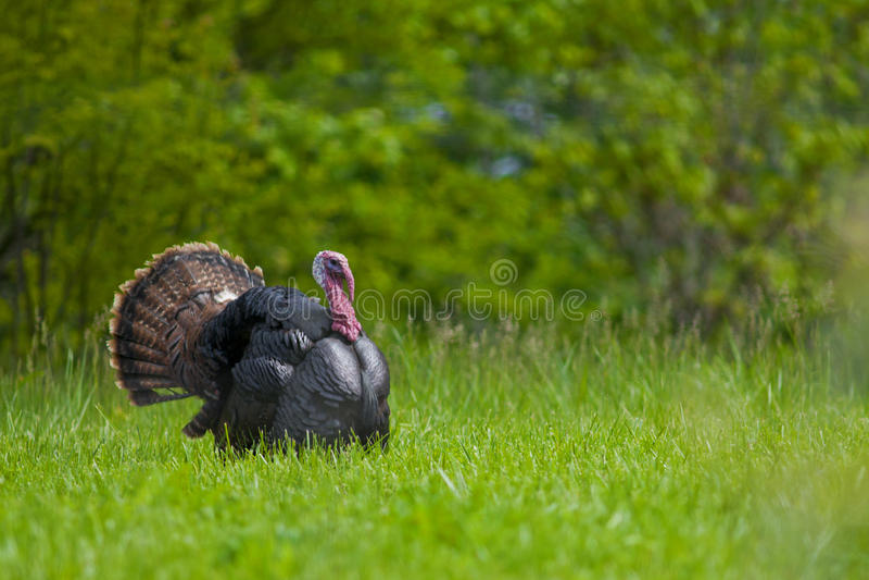 Strutting wild Turkije stock fotografie