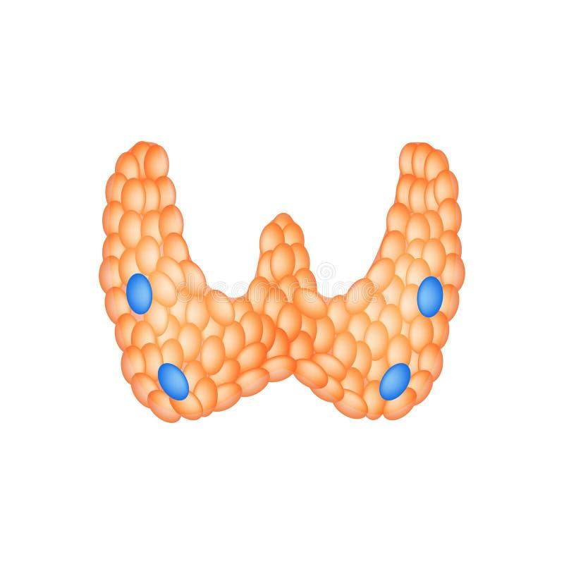 Struttura anatomica della tiroide e della ghiandola paratiroide Infographics Illustrazione di vettore su fondo isolato royalty illustrazione gratis
