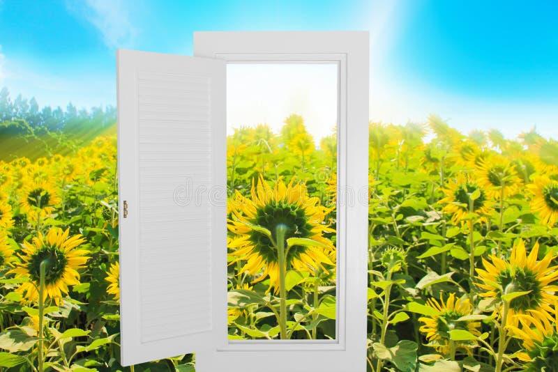 Struttura aperta della finestra bianca con il fondo dell'azienda agricola del girasole immagini stock libere da diritti