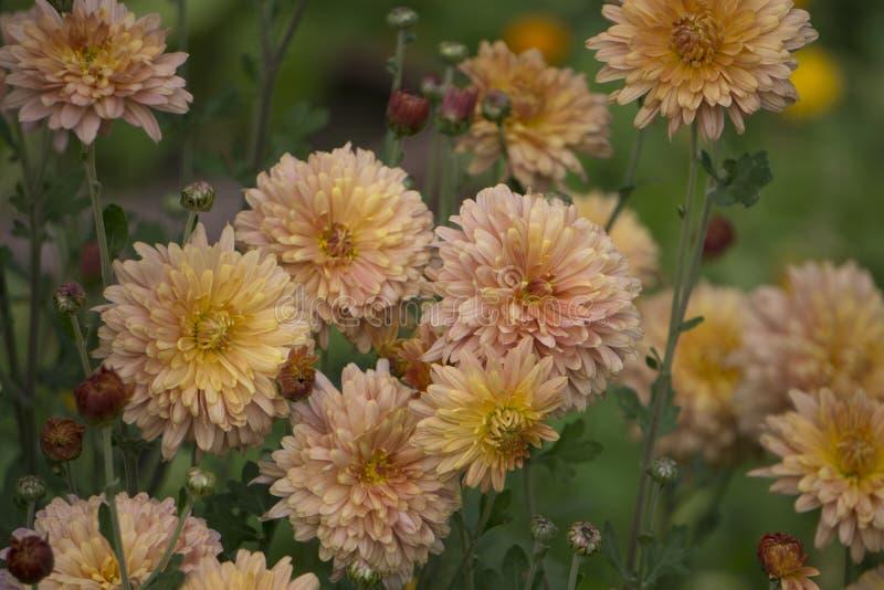 struttura arancio pallida dei fiori molto fotografia stock