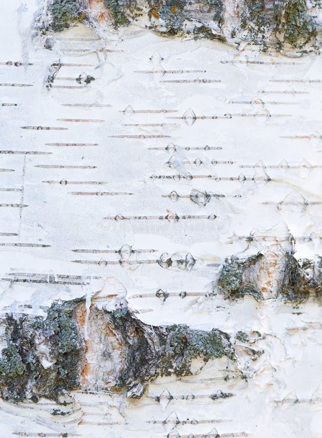 Struttura bianca della corteccia di vecchia betulla fotografia stock
