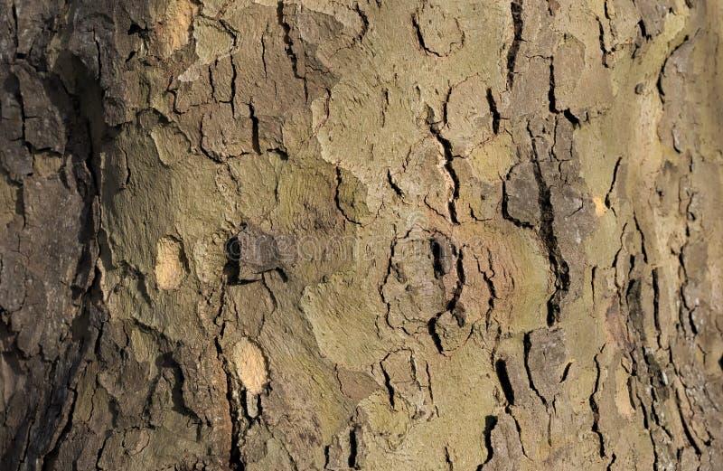 Struttura completamente sviluppata del tronco di albero immagini stock