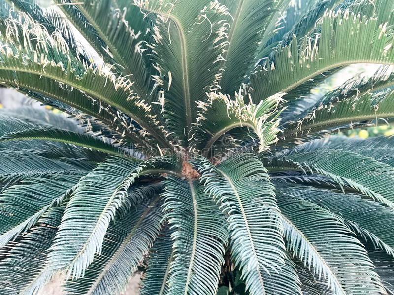 Struttura da una felce tropicale verde con le grandi foglie ampe I cenni storici immagini stock libere da diritti
