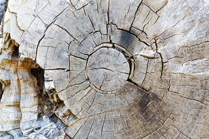 Struttura degli anelli di albero decomposti fotografie stock libere da diritti